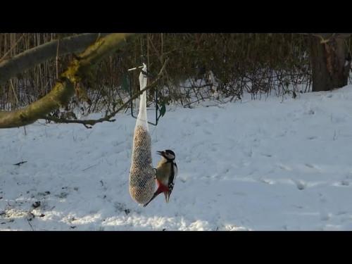 Vogel-TV * Herr Specht schon wieder